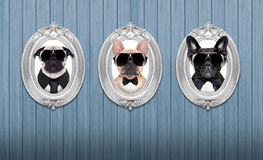Dog in frames. Three cool dogs in frames hanging on a wooden blue wall royalty free stock images