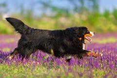 Dog free run in flowers. Bernese Mountain Dog run in violet flowers field stock photo