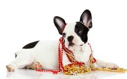 Dog french bulldog with beads isolated on white background Royalty Free Stock Images