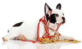 Dog french bulldog with beads  on white background Royalty Free Stock Photography