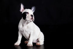 Dog french bulldog on black background domestic animal pet Stock Images