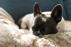 Dog of the French bulldog breed laying on top of a beige long-haired blanket. royalty free stock image