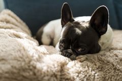 Dog of the French bulldog breed laying on top of a beige long-haired blanket. stock photos