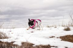 Dog of the French bulldog breed in the snow. stock photos