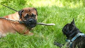Dog French Bulldog and Bullmastiff stock video footage