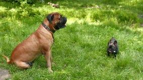 Dog French Bulldog and Bullmastiff stock footage