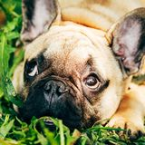 Dog French Bulldog Royalty Free Stock Photos