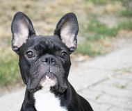 FRENCH BULLDOG. Dog (french bulldog) on cruiseline stock photos