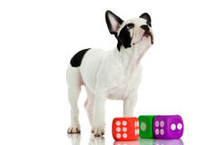 Dog french bulldog with dices isolated on white background Stock Photo