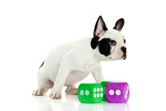 Dog french bulldog with dices isolated on white background Stock Photos