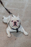 Dog French Bulldog Royalty Free Stock Photos