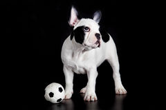 Dog french bulldog football on black background soccer sport concept Stock Images