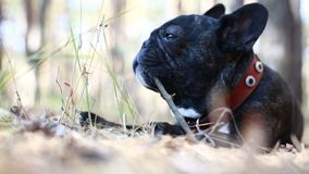 Dog french bulldog in forest. Dog french bulldog in the forest stock footage