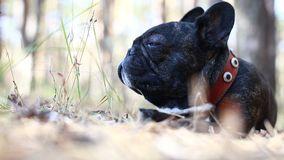 Dog french bulldog in forest. Dog french bulldog in the forest stock video