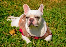 Dog. A french bulldog in the garden Stock Photo