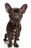 Dog french bulldog isolated Stock Photography