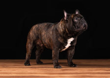 Dog. French bulldog puppy on black background with wooden texture Stock Images