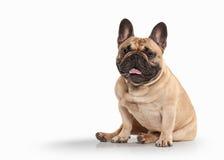 Dog. French bulldog puppy on white background Royalty Free Stock Image
