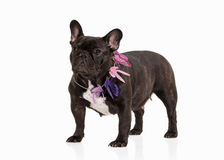 Dog. French bulldog puppy on white background Stock Photos
