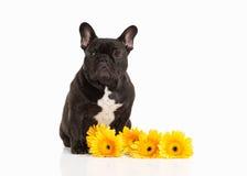 Dog. French bulldog puppy on white background Stock Image