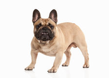 Dog. French bulldog puppy on white background Stock Photography