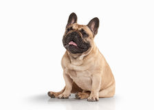 Dog. French bulldog puppy on white background Royalty Free Stock Photos