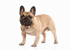 Dog. French bulldog puppy on white background Stock Photo