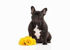 Dog. French bulldog puppy on white background Stock Photos