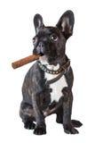Dog french bulldog sitting with a cigar Royalty Free Stock Photo