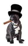 Dog french bulldog sitting with a cigar Stock Images