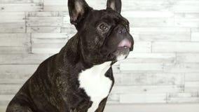 Dog French bulldog sitting licks its muzzle stock video footage