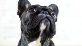Dog French bulldog sitting licks its muzzle stock footage