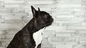 Dog French bulldog sitting licks its muzzle stock video