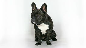 Dog French bulldog sitting stock video