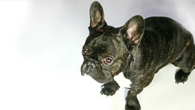 Dog French bulldog sitting stock footage