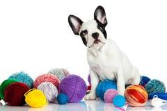 Dog french bulldog with threadballs isolated on white background Royalty Free Stock Images