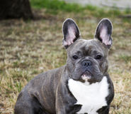 BLUE FRENCH BULLDOG Royalty Free Stock Photography