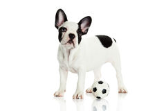Dog french bulldog on white background football soccer Royalty Free Stock Photos