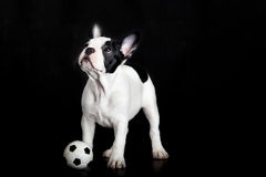 Dog french bulldog on white background soccer player Royalty Free Stock Photos