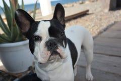 Dog. French Cute young Bulldog pedigree champion stock photos