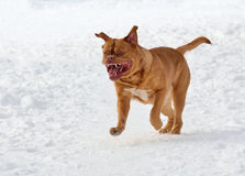 Dog of French Mastiff breed running in snow royalty free stock images