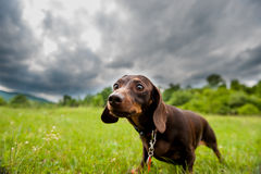 Dog, friend, companion, hunting, dachshund, beautiful, long, purebred, pet Royalty Free Stock Images