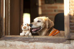 Dog and friend dog toy. Golden retriever and dog  friend toy looking on the window Stock Photo