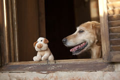 Dog and friend dog toy. Golden retriever and dog  friend toy locking on the window Stock Photos