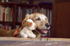 Dog and friend dog toy. Happy Golden retriever and dog  friend toy Royalty Free Stock Images
