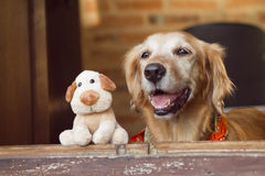 Dog and friend dog toy. Golden retriever and dog  friend toy looking on the window Royalty Free Stock Image
