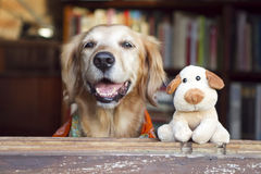 Dog and friend dog toy. Golden retriever and dog toy looking on the window Stock Photography