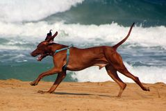Dog friend man. Dogs are known for their learning abilities and love of the game Royalty Free Stock Photo