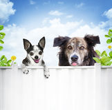 Dogs looking over fence. A chihuahua and a mutt or cur look over a white fence to their neighbors with pleading looks in their eyes.  Concept for dogs begging or