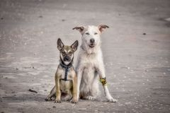 Dog friends on the beach. A pair of freindly dogs sit next to each other on the sand of a beach near Flagler Beach, Florida Stock Photos